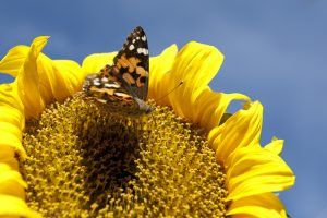 Painted Lady on Sunflower Vanessa cardui on Helianthus